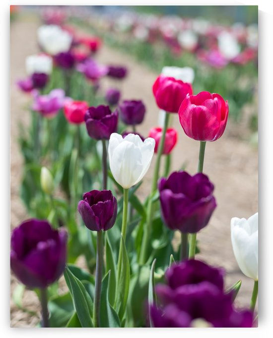 Close up tulips in boom by RezieMart