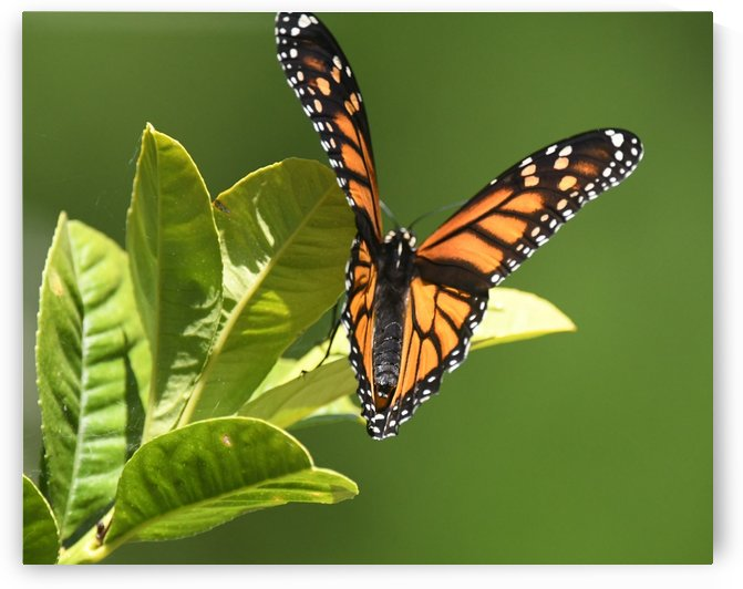 Monarch II. by H.Hart Photography