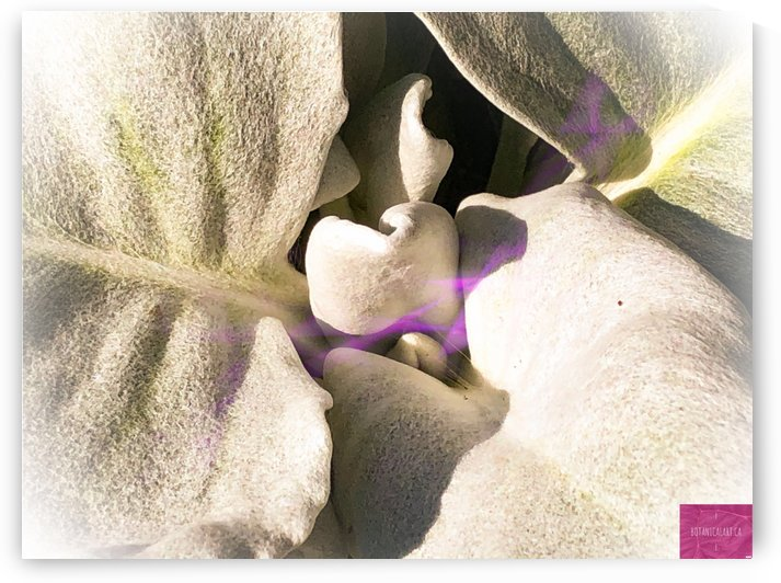 Purple Desert Haze by BotanicalArt ca
