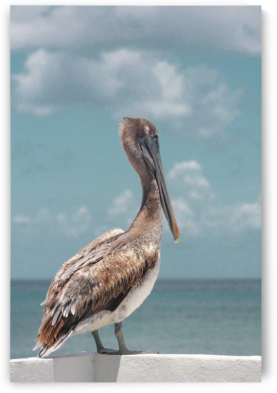 Pelican by Jonathan Wormgoor