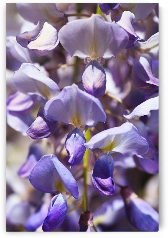 Wisteria Flowers by Joy Watson
