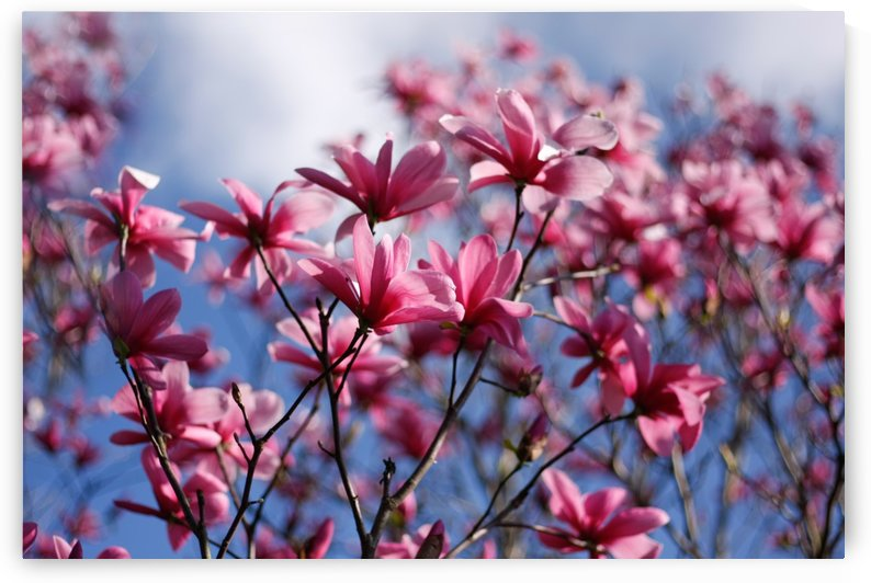 Dramatic Sky Magnolias by CreationLife Me