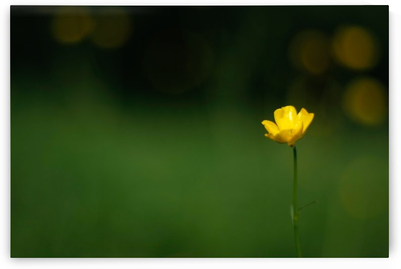 Lone Buttercup by CreationLife Me