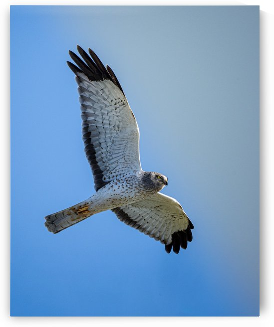 Northern Harrier in Flight by David Yoon
