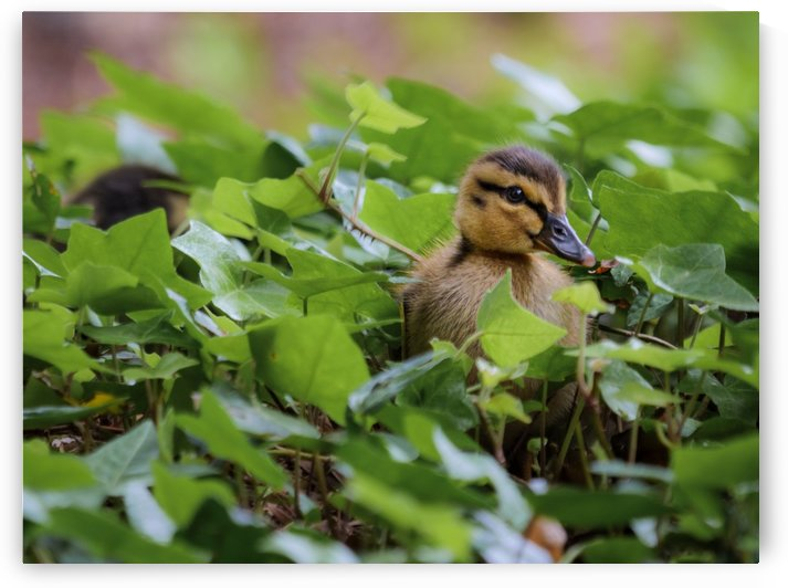 Duck In Plants by David Yoon
