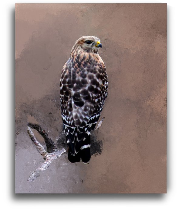 Hawk by Connie Maher