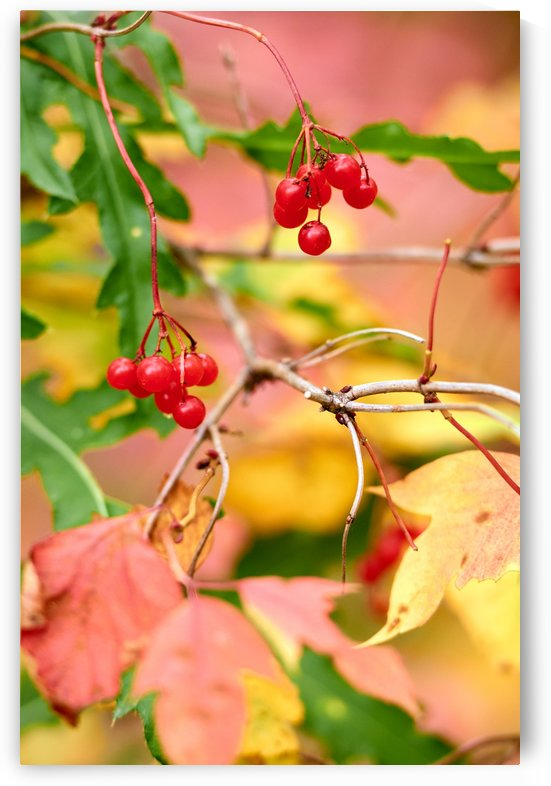 Autumn. Wild viburnum. by Vasyl