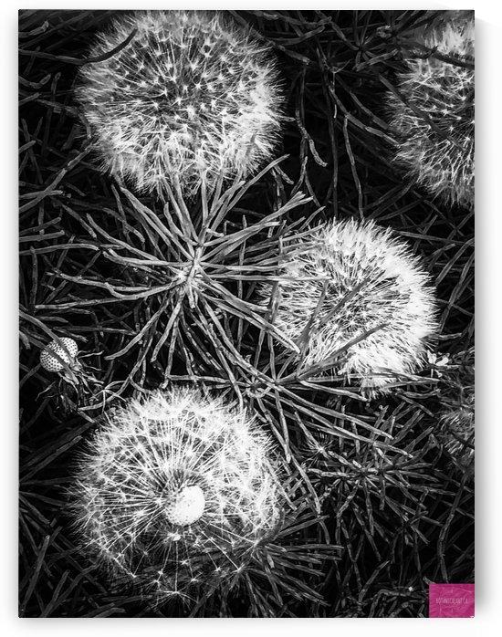 Dandelion Seed Heads by BotanicalArt ca
