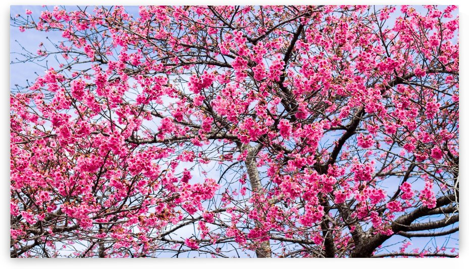 Tree XI - Cherry tree  by Carlos Wood