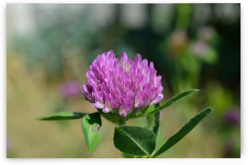 Red Clover Flower Macro by Michelle K Wood
