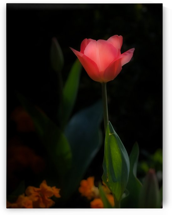 Pink tulip by Leighton Collins