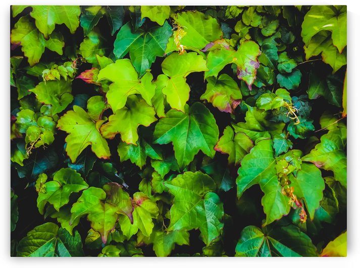 green ivy leaves texture background by TimmyLA