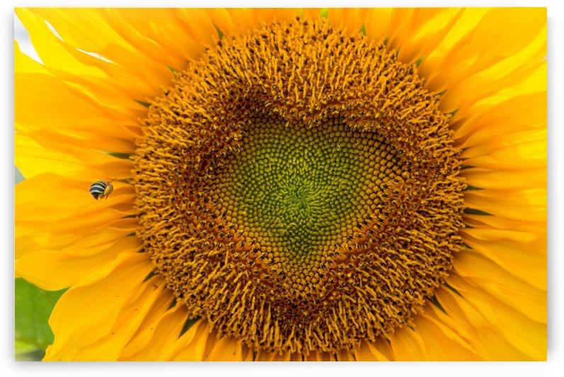 Sunflower Blue Banded Bee 0882 by TJ Weisenberger II
