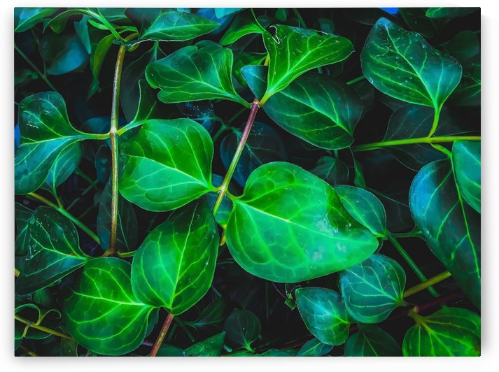 green ivy leaves plant closeup texture background by TimmyLA