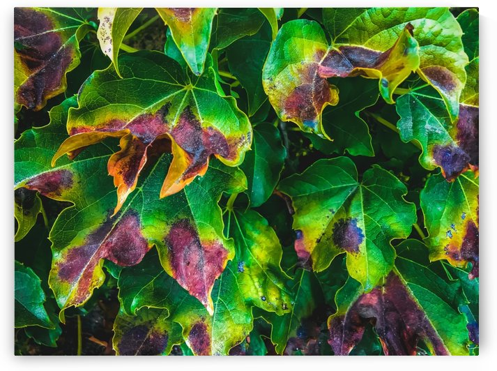 closeup green ivy leaves texture background by TimmyLA