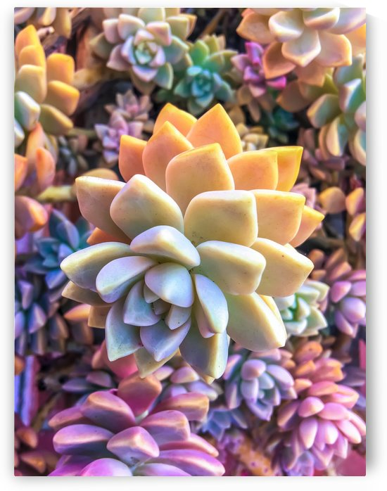 closeup green and pink succulent plant by TimmyLA