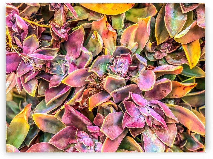 green and pink succulent plant garden texture background by TimmyLA