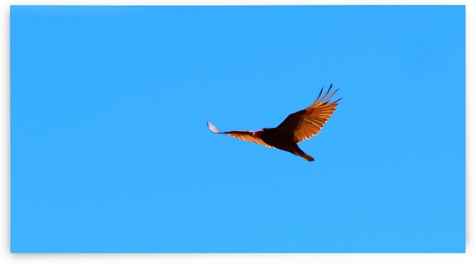 Turkey Vulture by TJ Meagher