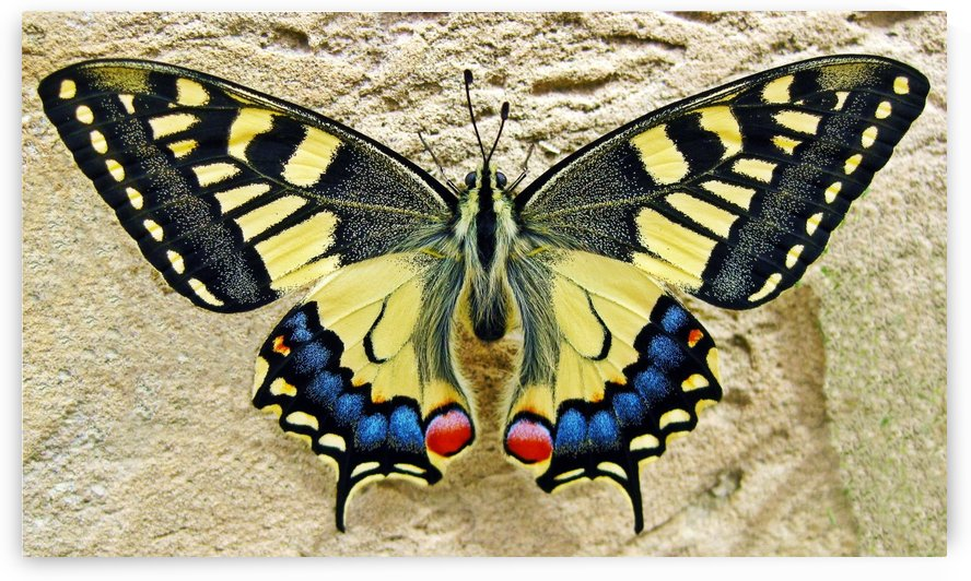 butterfly 1228639 by Artist Sabrina