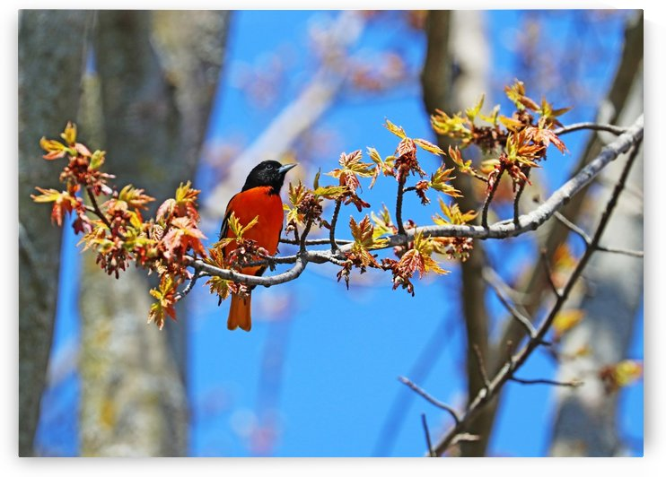 Baltimore Oriole In Maple Tree by Deb Oppermann