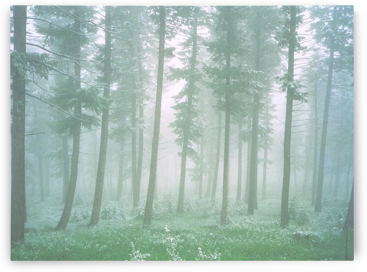 Fog in the Forest by Steve Tohari