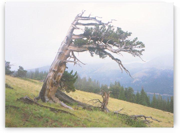 Ancient Windblown Tree by Steve Tohari