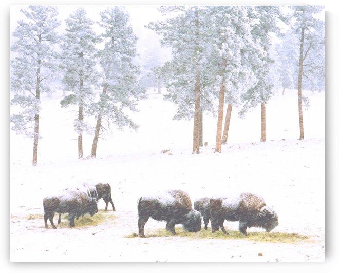 Buffalo in. a Snowstorm by Steve Tohari