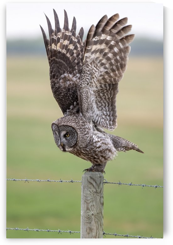 9499 - Great Grey Owl ready for take off  Alberta Canada by Ken Anderson Photography