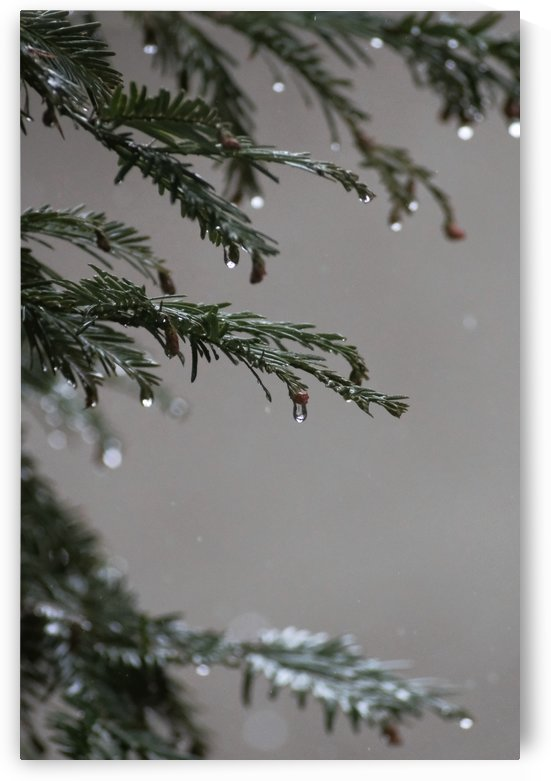 Rain on Pine by Konstantin