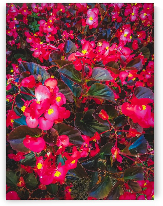 closeup red flowers with yellow pollen and green leaves by TimmyLA