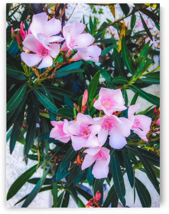 pink flowers garden with green leaves background by TimmyLA