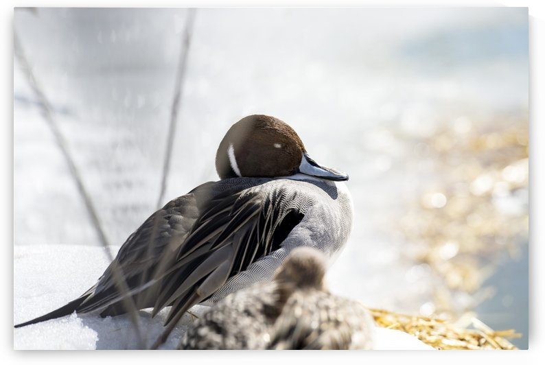 Dreamy Duck  by Susan Fischer