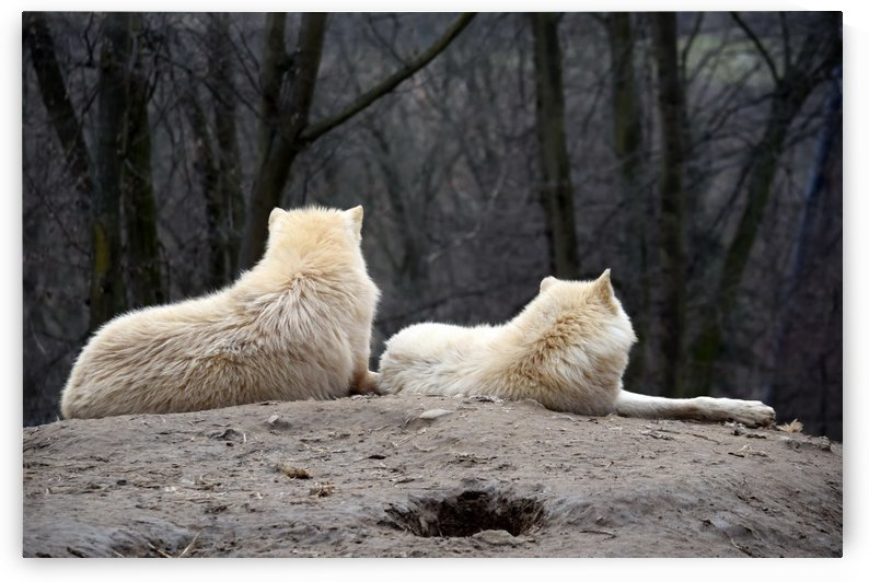 Couple of White Arctic Wolf Lying on Hill by Kikkia Jackson