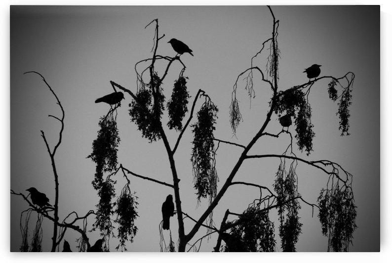 Crows 2016   1 by Alain Harrus