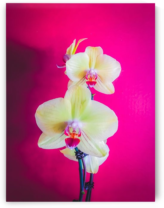 closeup white and pink orchids plant with pink background by TimmyLA