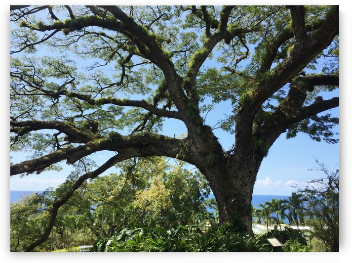 400-year old Saman tree at St. Kitts  West Indies by On da Raks