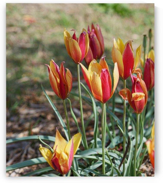 Tulips by On da Raks
