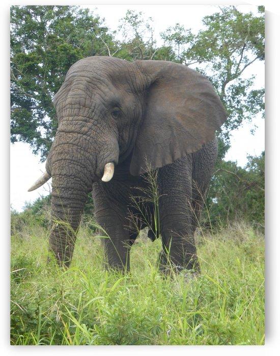 African Elephant by Lezandie de Beer