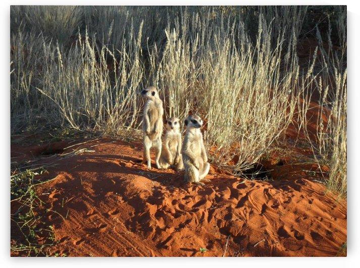Kalahari Meerkat Mob by Lezandie de Beer