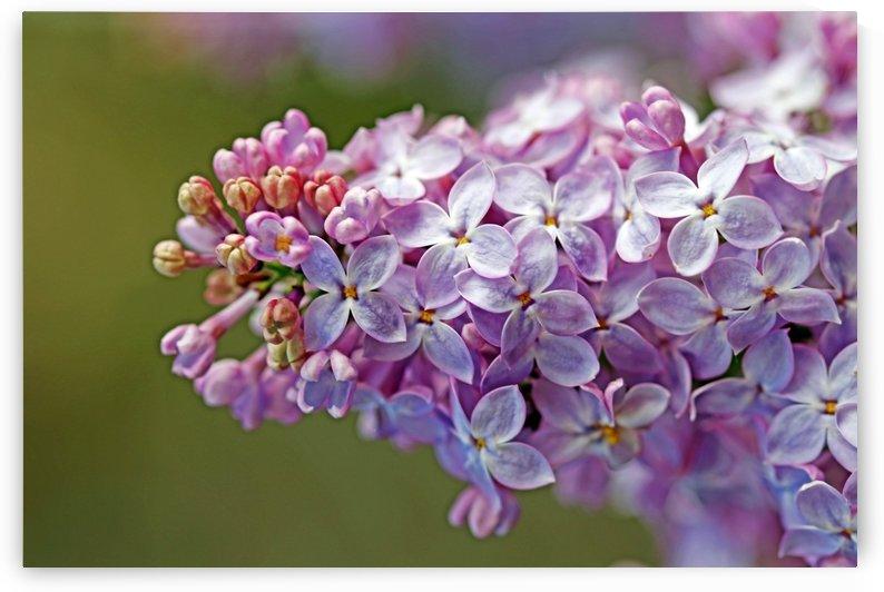Sweet Lilacs by Deb Oppermann