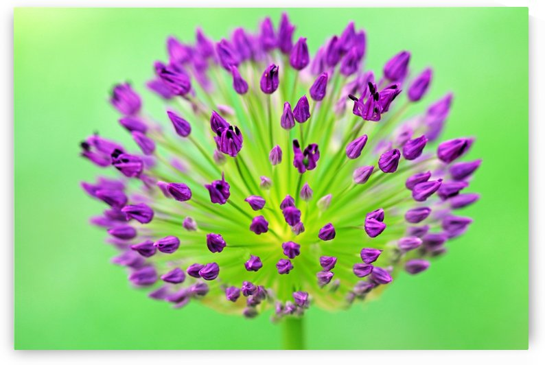 Neon Allium by Deb Oppermann