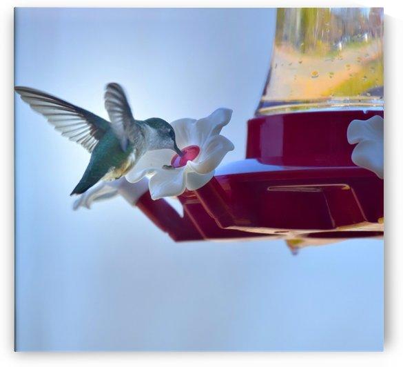 Oiseau-mouche by Annie St-Pierre Artiste Photographie