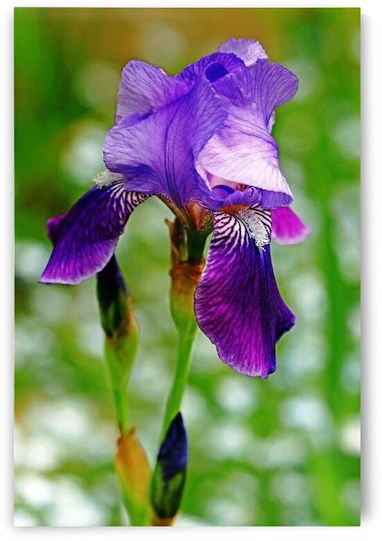 Simply Purple Iris by Deb Oppermann