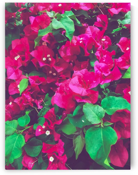 closeup blooming pink bougainvillea flowers with green leaves by TimmyLA