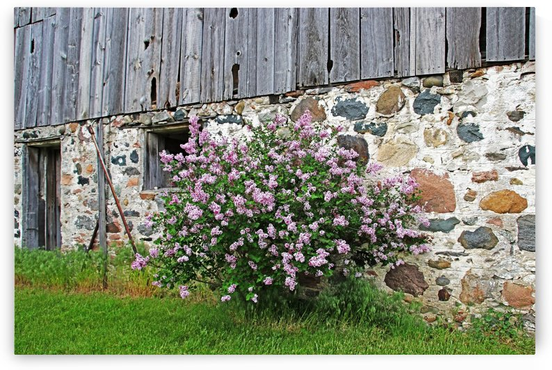 Old Barn And Lilacs by Deb Oppermann