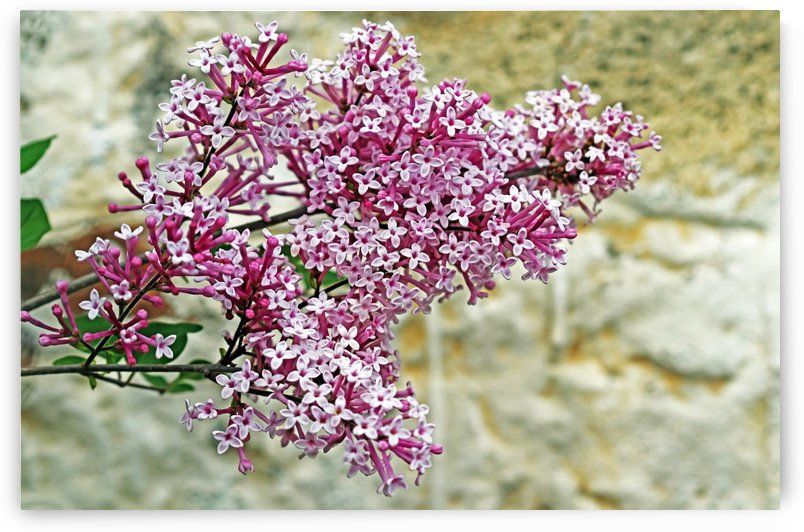Lilac On Stone by Deb Oppermann
