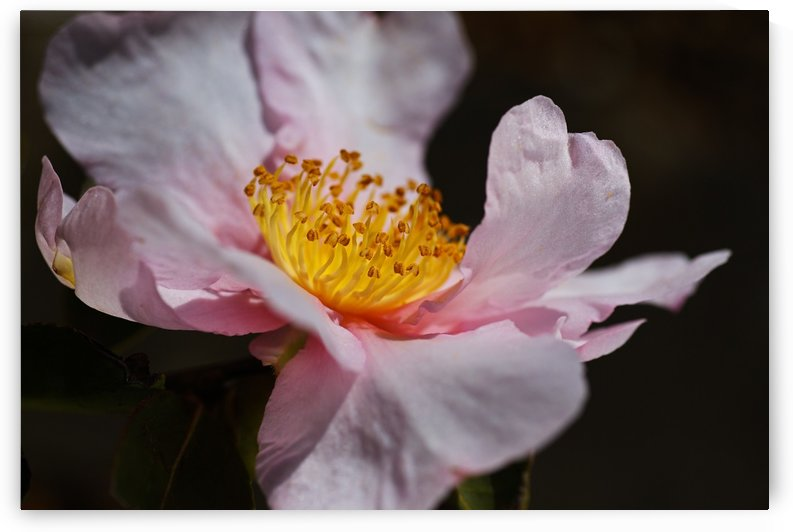 Curves Of Camellia Flower by Joy Watson