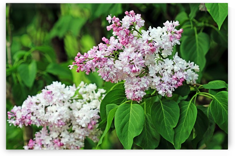 The Magic Of Lilacs I by Deb Oppermann