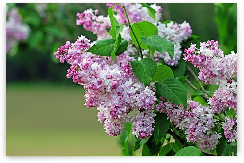 The Magic Of Lilacs by Deb Oppermann