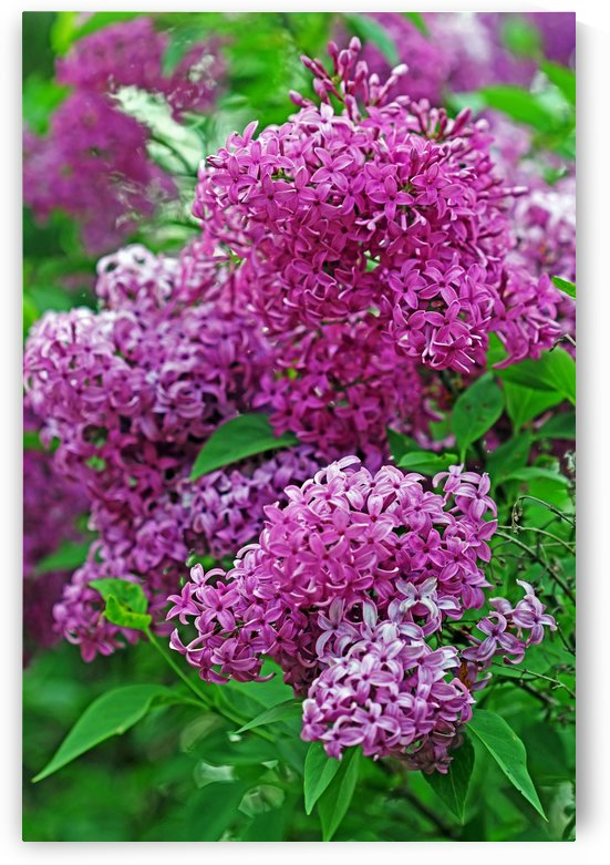 Wine Red Lilacs by Deb Oppermann